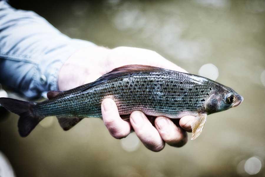 Der Fisch wird gleich wieder ins Wasser entlassen.