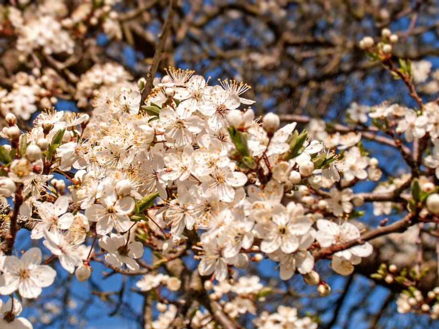 Frühlings-Blüte im Odenwald