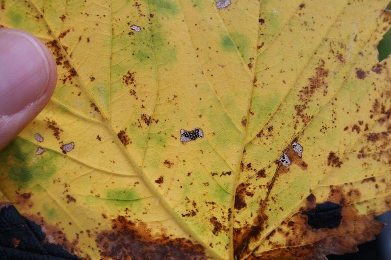 Une feuille d'érable mangée par des insectes laisse apparaître les nervures