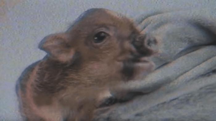 """Il porcellino Piggy Smalls di Ariana Grande è il protagonista del nuovo video """"Breathin"""""""