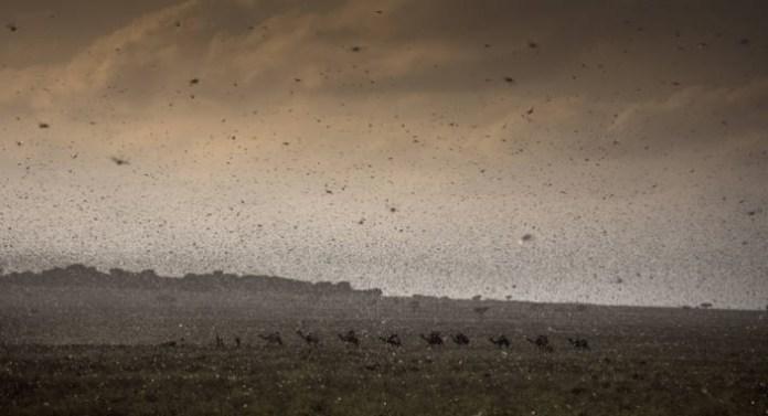 east africa locust swarm january 2020