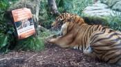 Tiger poster Medium