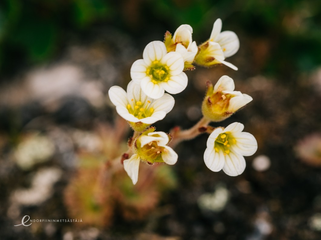 Tufted Saxifrage in Greenland Photo: Terhi Jaakkola