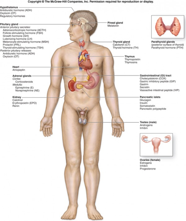 Glands secretions  functions wall chart two also and endocrine system rh endosys weebly