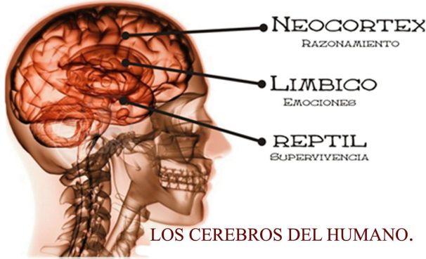 los 3 cerebros