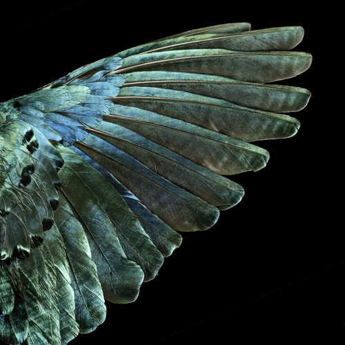 FEATHER TYPE : Wing  LATIN NAME: Lamprotornis superbus  ENGLISH NAME: Superb Starling  REGION: Africa Further Information contact : Dr. Peter Mullen Kirchplatz 6 42489 Wuelfrath email: petermullen@gmx.de cell: +491726411691