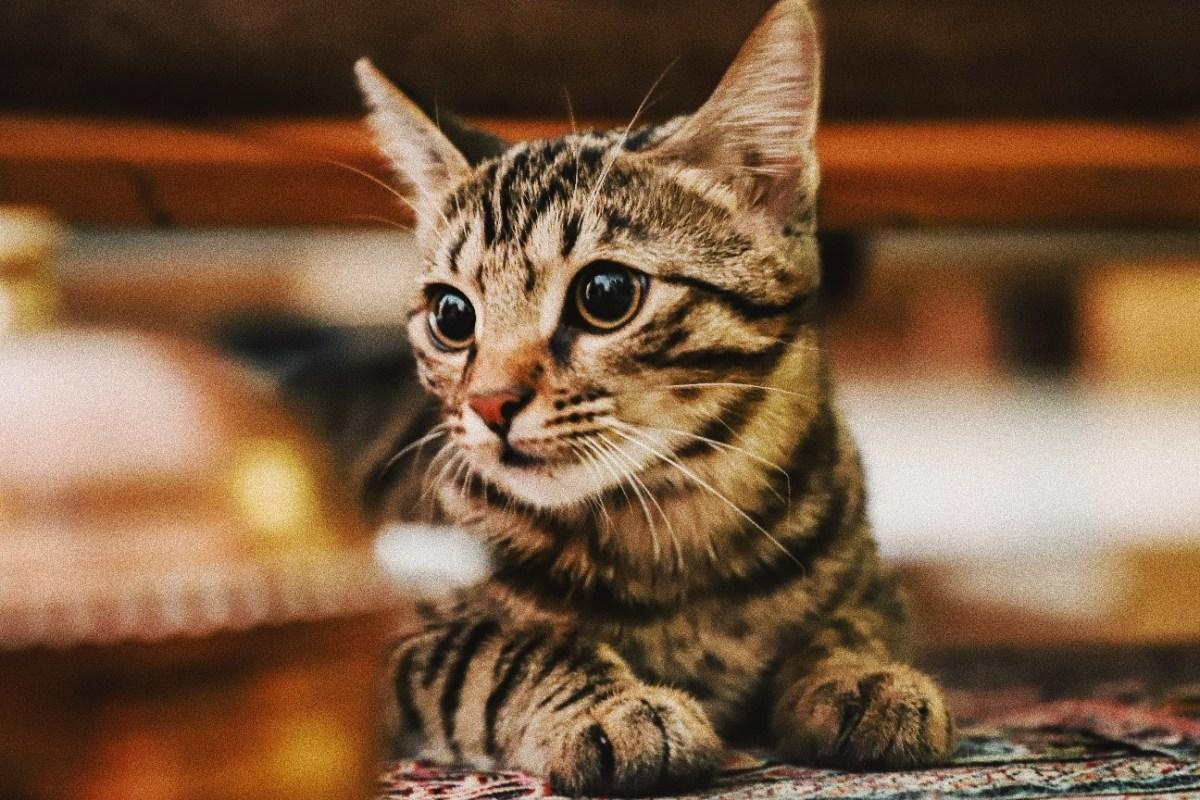 Alimentos que nunca debe comer un gato