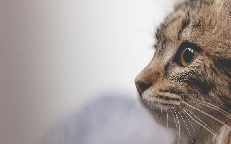 Las vibrisas: ¿cómo son y para qué sirven los bigotes de los gatos?