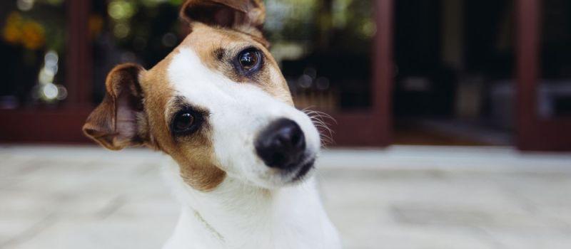 Tos de las perreras: síntomas más frecuentes