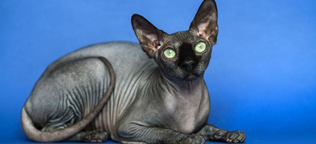 Curiosidades que quizá no sabías de los gatos esfinge