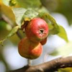 Höst äpple