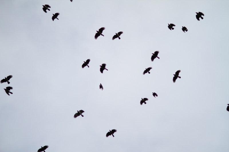 Fåglar himmel