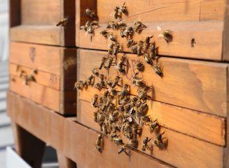 Pčele na krovu Bečke vijecnice