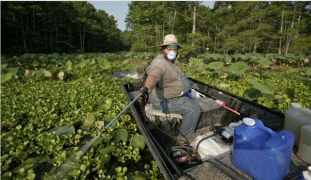 Mike Turner sprayed herbicide recently on the weed Salvinia molesta on Caddo Lake near Uncertain, Tex. The weed suffocates all life beneath it. The furry green invader from South America is threatening to smother the labyrinthine waterway, the largest natural lake in the South, covering about 35,000 acres and straddling Texas and Louisiana. Blumenthal, R. July 30, 2007. In East Texas, Residents Take On a Lake-Eating Monster. New York Times. Photo credit: Michael Stravato.