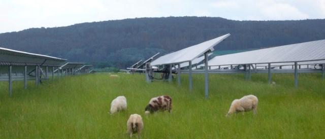 sheep under photovoltaic panels