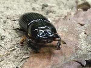 beetle bug trail woods 300