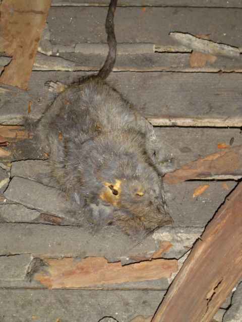 dead rat attic halloween