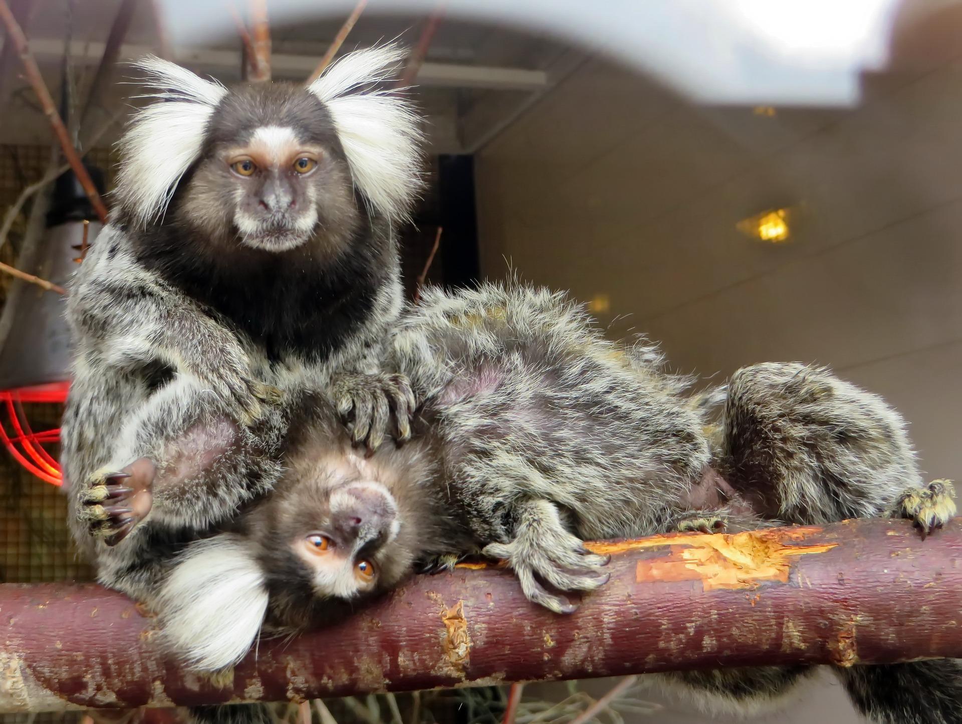 Epouillage chez les singes