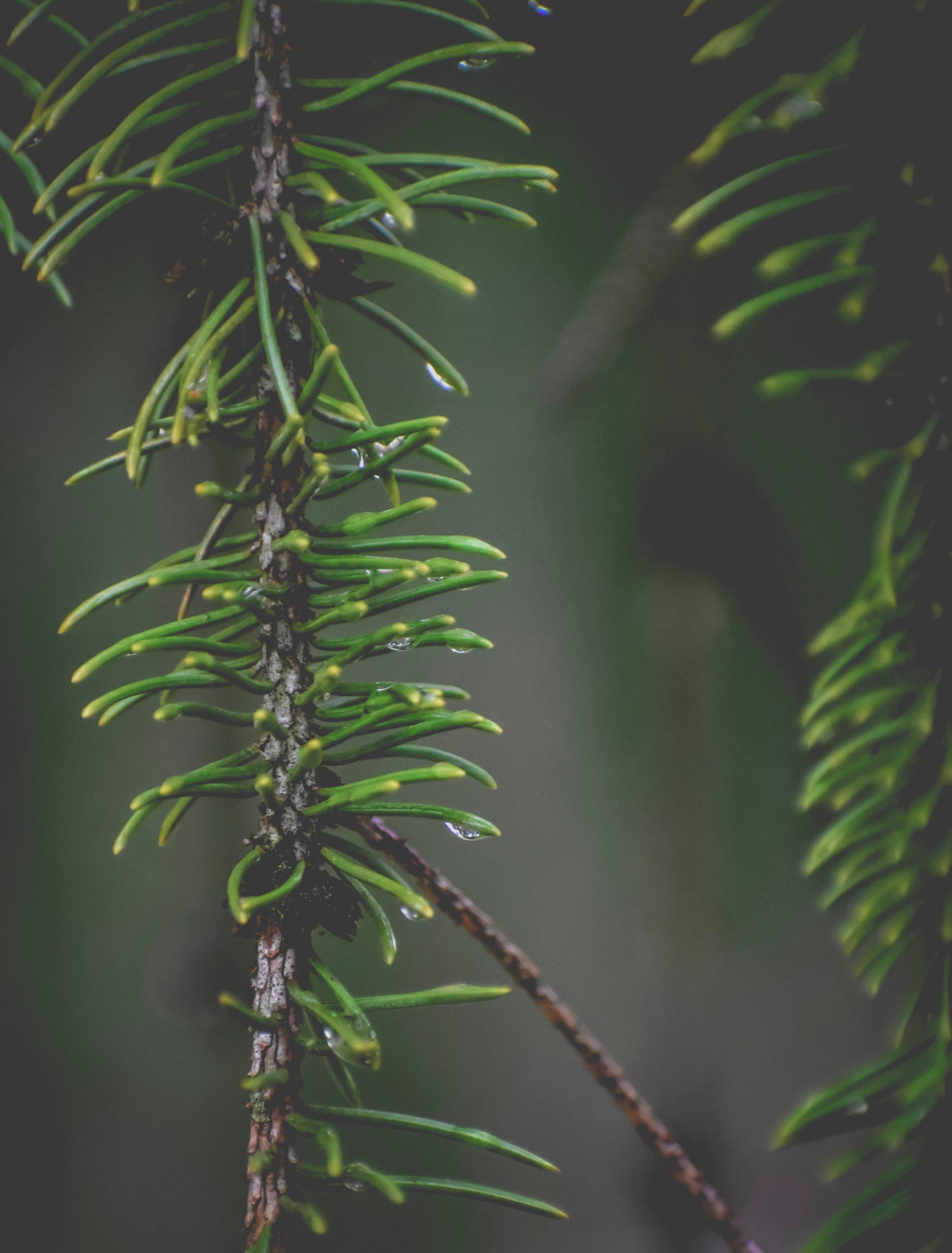 L'huile essentielle de pin est un peu moyen de faire entrer la nature chez vous.