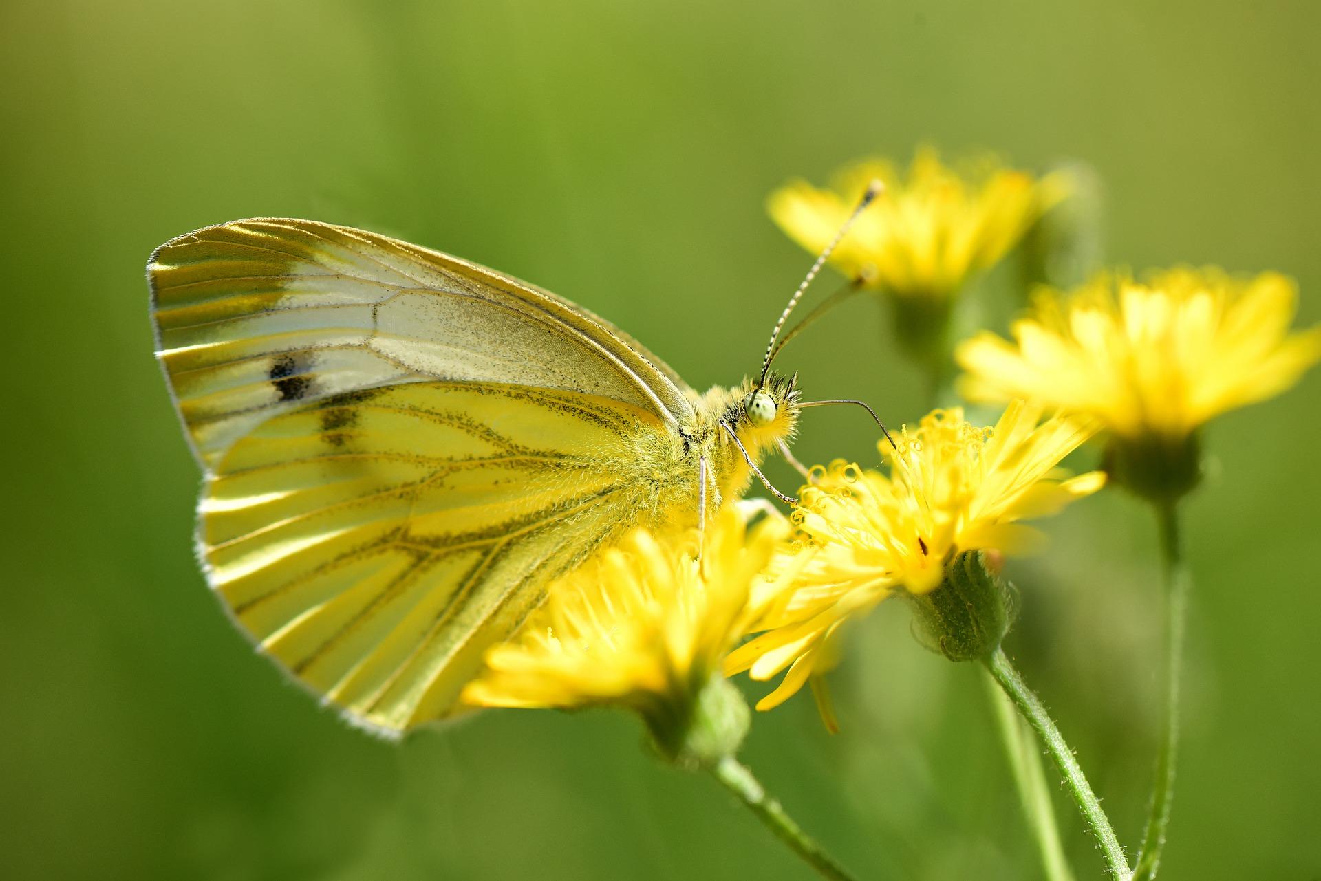 Les insectes butineurs adorent le pissenlit pour toutes ces fleurs avec pollen et nectar qui les nourrissent tôt dans la saison.