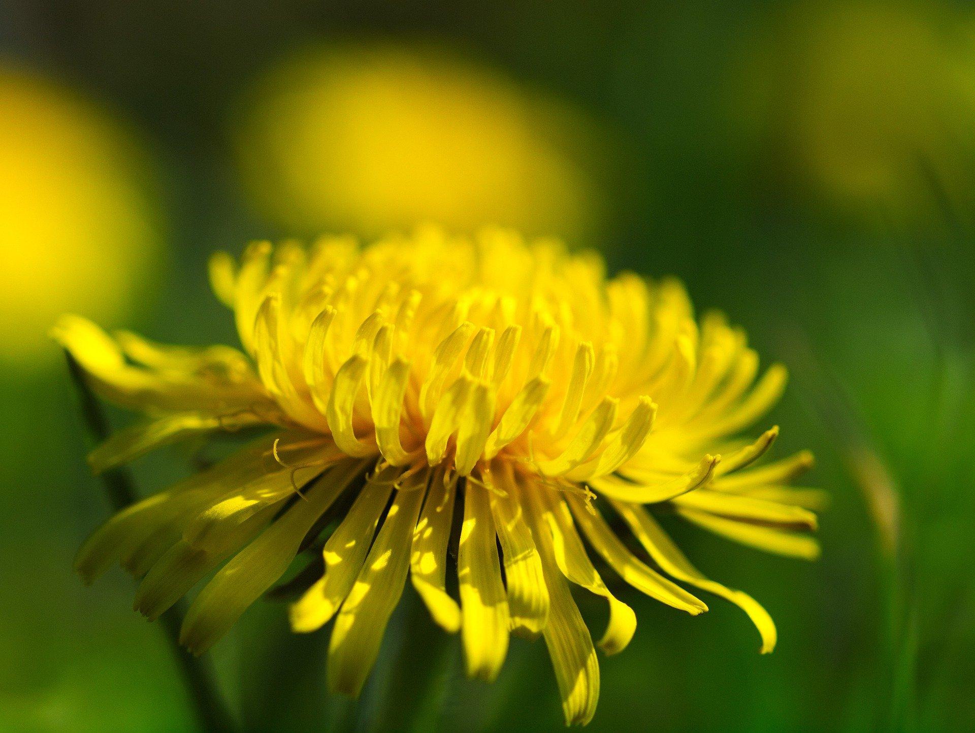 Les fleurs du pissenlit sont différentes entre le cercle du capitule et l'extérieur de l'inflorescence..