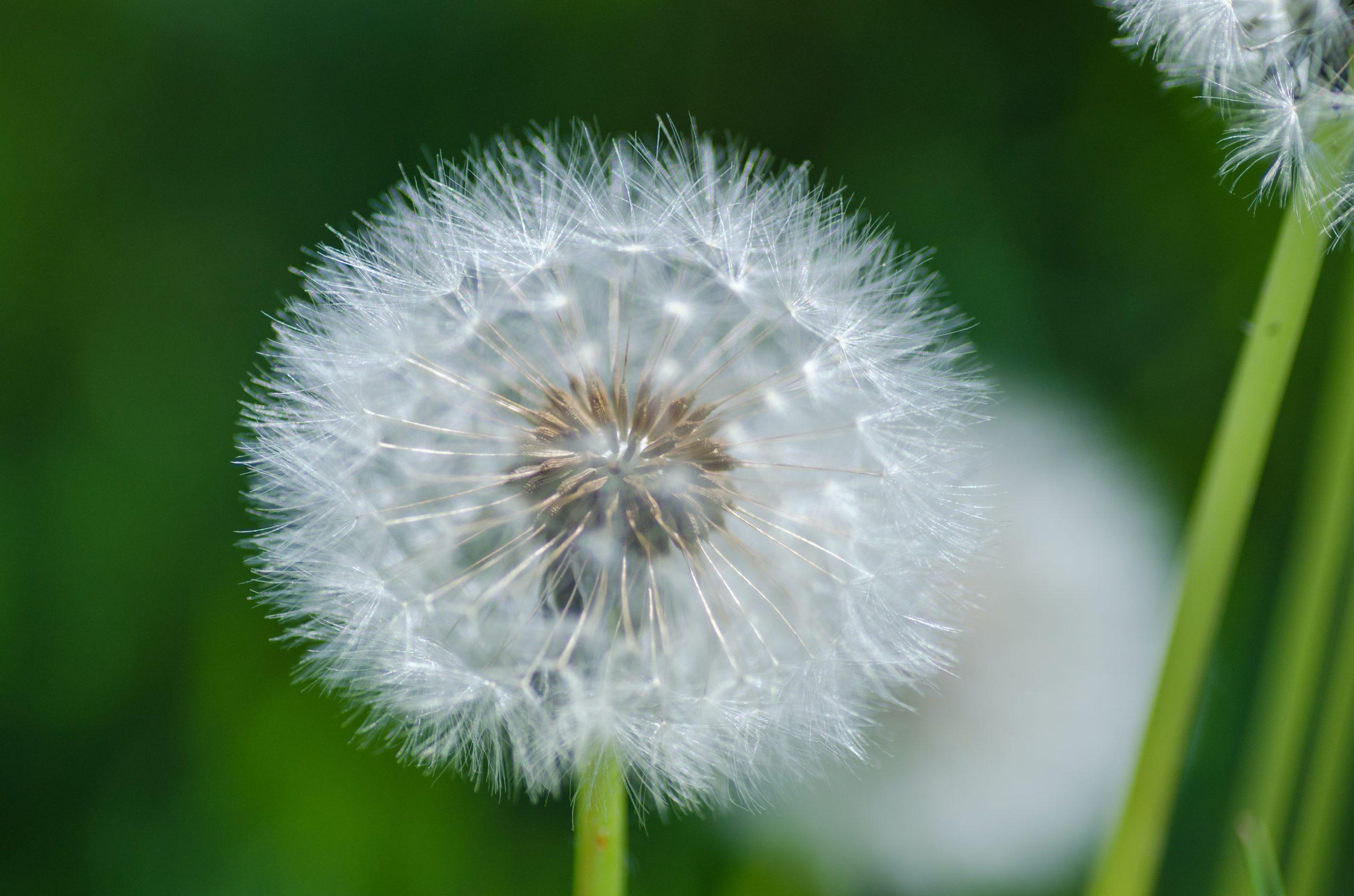 Ces petites choses toutes douces sur lesquelles on adore souffler sont les fruits du pissenlit, autrement appelés akènes.