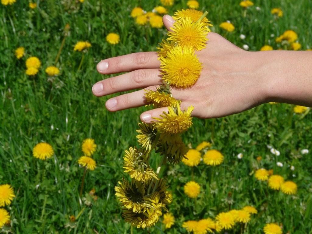 Le pissenlit est une plante facile à ramasser, par contre attention, ça jaunit les doigts.