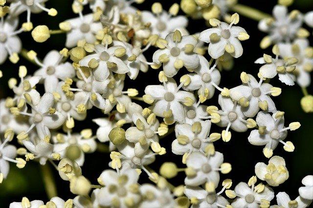 Les fleurs de sureau sentent vraiment très bon et possèdent des anthères bien jaunes