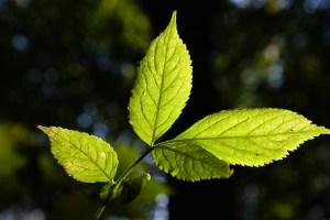 Les feuilles du sureau noir ont des folioles dentées.