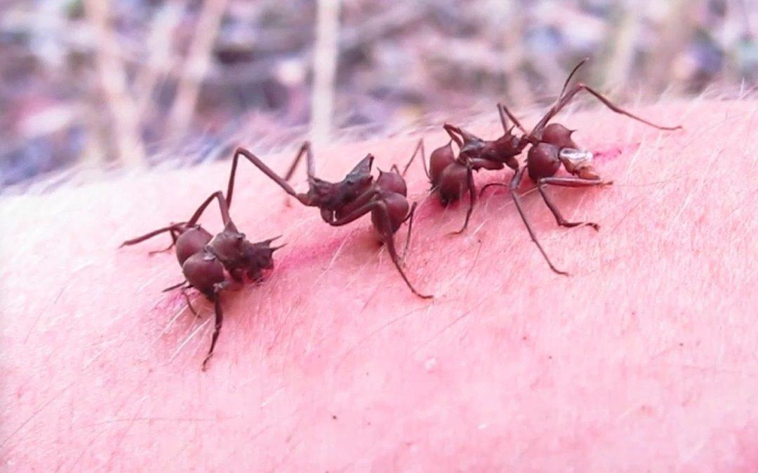 Hormigas para suturar heridas