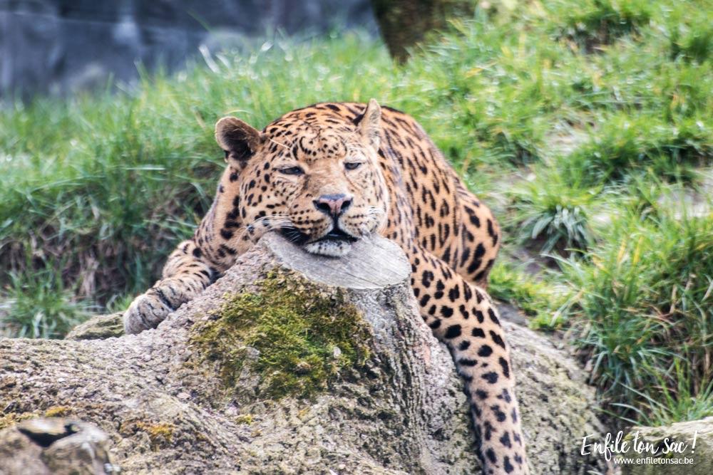 pairi daiza leopard Pairi daiza saison 2016   Bilan 1mois après la réouverture.