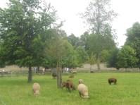 Animaux dans le hameau de la reine, Versailles