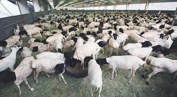Saudi Arabia: Retail Meat Market Maintains High Rates Despite 30% Rate Cut on Livestock