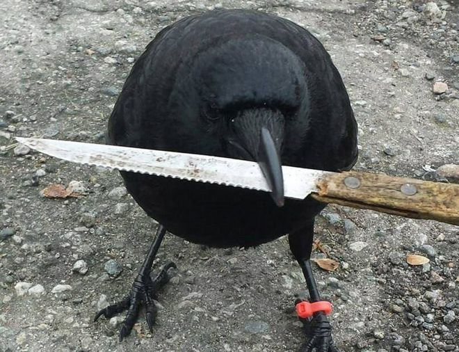 Postman Repeatedly Attacked By a Crow In Canada