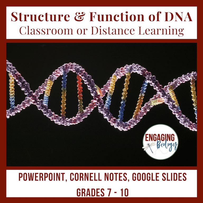 cornell notes structure and function of DNA