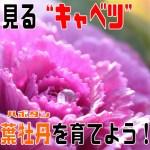 葉牡丹表紙