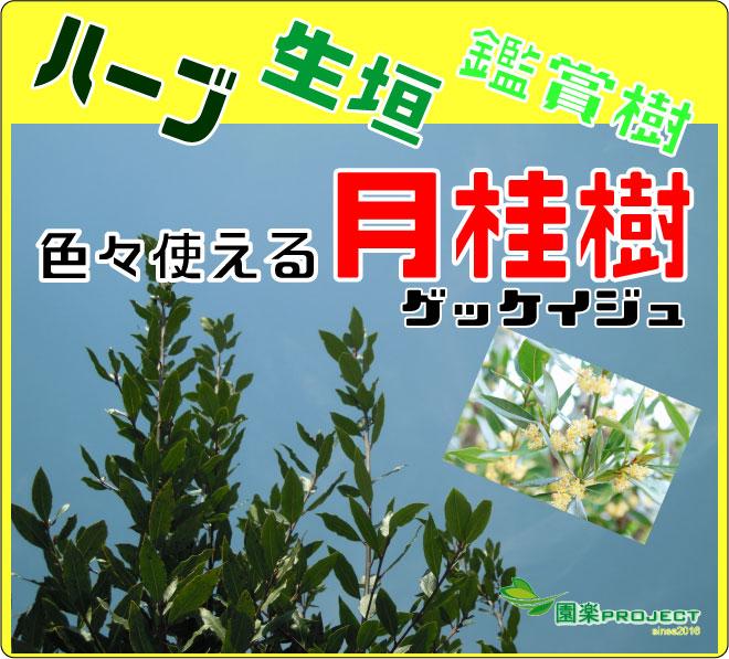 月桂樹-(表紙)