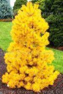 20pcs_bag Colorado Blue Spruce Tree Potted Bonsai Courtyard Garden Bon – JKK Mart