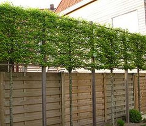 80 Fascinating Evergreen Pleached Trees for Outdoor Landscaping