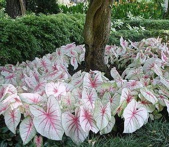 Caladium _White Queen_ for Shade Garden. by DeeDeeBean