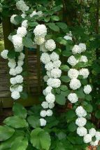 Climbing Hydrangeas _ 17 Dreamy Hydrangea Gardens That Have Us So Ready for Spring _ Southernliving. Perfectly overgrown white hydrangeas climb the side of a porch. See Pin
