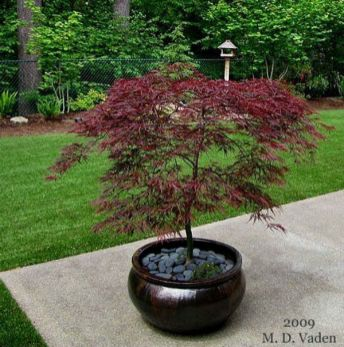 Growing Japanese Maples In Containers _japanesegardens