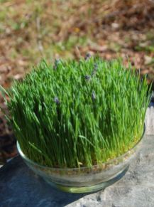 a-ready-spring-centerpiece-of-wheatgrass-and-lavender-is-a-gorgeous-idea-of-a-living-piece-that-will-last-long