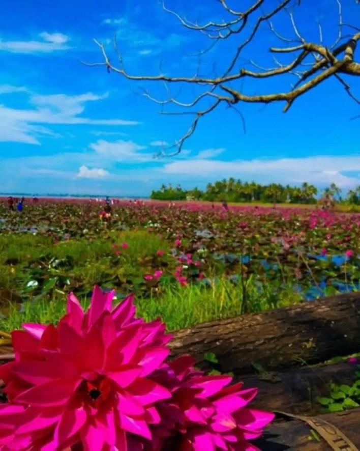 गुलाबी लिली धान का खेत (फोटो क्रेडिट: ट्विटर)