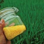 Bangladesh to release 'Golden Rice' variety soon: IRRI