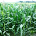 Maize cultivation target exceeds in Rangpur region
