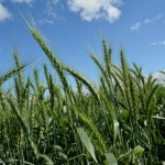 Better wheat production expected in Rangpur region