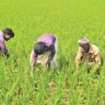 Boro farming at peak in Gaibandha