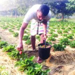 Strawberry farming makes many youths self-reliant in Rajshahi