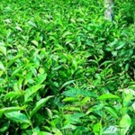 Tea output increases 57 pc in northern districts
